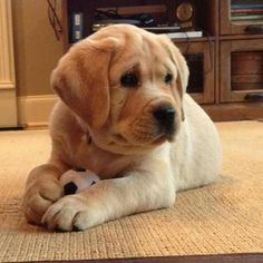 Oh my goodness, I want him! Cute Labrador Puppies, Cute Puppies And Kittens, Lab Puppies, Cute Cats, Baby Dogs, Pet Dogs, Dog Cat, Doggies, Cutest Dog Ever
