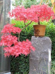 Bonsai Tree Care for Beginners Red Maple Bonsai, Red Maple Tree, Trees And Shrubs, Trees To Plant, Japanese Maple Varieties, Outdoor Bonsai Tree, Indoor Bonsai, Prairie Garden, Pot Jardin