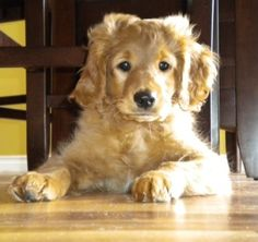 50% Golden Retriever, 25% Cocker Spaniel and 25% Poodle. Holy camolie I'm dying!!! I WANT ITTTTT