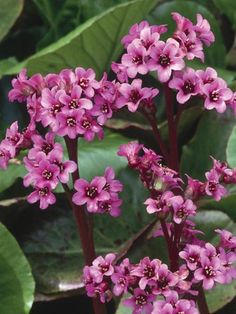 These pretty flowers and plants grow naturally in dry environments. SUNNINGDALE BERGENIA.