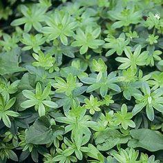 Asperule odorante - Plantes et Jardins