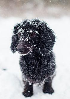 snowy dachsund