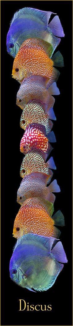 Discus Tank, Discus Fish, Freshwater Aquarium, Aquarium Fish, Tetra Fish, Tropical Fish, Sea Creatures, Asian Art, Fresh Water