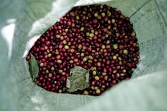 If you're looking to try something a bit different, wrap your tastebuds around a mouth-watering Honduras blend. Coffees from this region are known for their full body, good aromatic acidity and sweet liquorice taste. Throughout The World, Honduras, Cherries, Full Body, Green Beans, Farmer, Harvest, Coffee, Bag