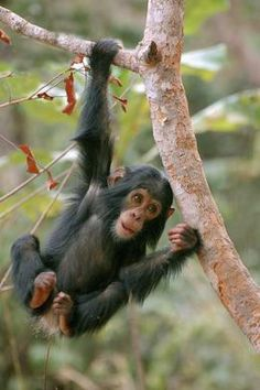 """Similarities between chimpanzees and humans ... mean that these African apes are exploited by humans, whether in the """"entertainment"""" industries, biomedical research, or pet trade. But, it is also their similarities to us that have led to a movement to protect chimpanzees. After all, how can we let our closest living relative go extinct?"""