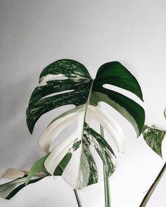 Amazing leaf of Monstera borsigiana variegata! Phot Amazing leaf of Monstera borsigiana variegata! Monstera Deliciosa, Green Plants, Tropical Plants, White Plants, Plantas Indoor, Decoration Plante, Plants Are Friends, Best Indoor Plants, Indoor House Plants