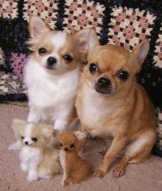 Effective Potty Training Chihuahua Consistency Is Key Ideas. Brilliant Potty Training Chihuahua Consistency Is Key Ideas. Cute Baby Animals, Funny Animals, Cute Puppies, Cute Dogs, Cute Little Dogs, Chihuahua Love, Teacup Chihuahua Puppies, Tier Fotos, I Love Dogs
