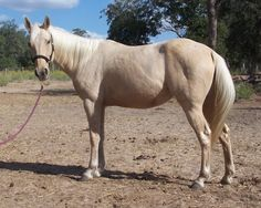 Available for adoption - Honey is a female horse, American Quarter Horse, located at Meadow Haven Horse Rescue in Nixon, TX.