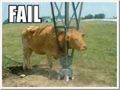 Cows head stuck in something http://ibeebz.com