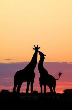 Stunning giraffe silhouette. Sunset in Botswana.