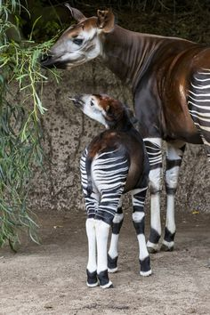 "sdzoo: ""Although they bear a resemblance to zebras, okapis are actually the only living relative of the giraffe. "" There are few animals I love more than the okapi like holy shit so cute wtf Bizarre Animals, Unusual Animals, Majestic Animals, Rare Animals, Zoo Animals, Cute Baby Animals, Animals Beautiful, Animals And Pets, Funny Animals"