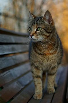 Image result for brown tabby cat with yellow eyes