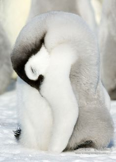 Nap Time - Emperor Penguin chick sleeping in Antarctica