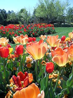 tulips-apricot and red