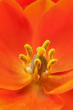 Orange Star flower by dspindle, via Flickr | warm colors + red orange yellow + flower + macro