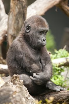 The pouting or thinking young Gorilla. Primates, Nature Animals, Animals And Pets, Cute Baby Animals, Funny Animals, Baby Gorillas, Mountain Gorilla, Tier Fotos, My Animal