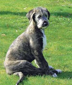 Google Image Result for http://www.dogworld.co.uk/shopimages/products/normal/mainsite/92B1A86F-4889-49FA-9EDD-B9AEBBEE9AC4_wolfhound.jpg
