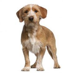 Il cane da pastore dei pirenei a pelo lungo un cane di for Cane da pastore della russia meridionale