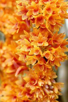 Dendrobium ×usitae