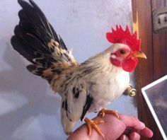 6 Serama Hatching Eggs Free Shipping | eBay