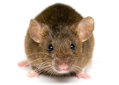 Mouse - there's nothing craftier than a mouse that doesn't want to be caught. Don't ask.