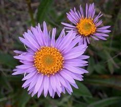 Flowers:   Alpine Aster