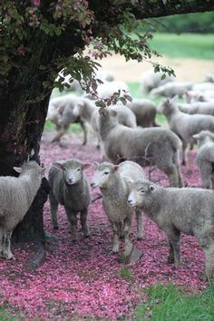 flock of sheep reminding me of The Good Shepherd! Lord Is My Shepherd, The Good Shepherd, Alpacas, Beautiful Creatures, Animals Beautiful, Farm Animals, Cute Animals, Counting Sheep, Sheep And Lamb