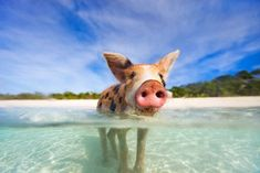 I didn't know feral pigs enjoy swimming. http://ift.tt/2efVIEY