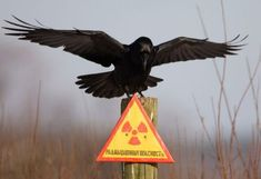 "A raven stretches its wings as it sits on a post inside the 30 km (18 miles) exclusion zone around the Chernobyl nuclear reactor near the village of Babchin, Belarus on December 23, 2009. The sign reads: ""Radiation hazard"". #NuclearReactors"