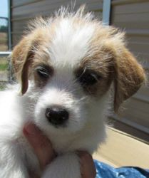 Charlie is an adoptable Terrier Dog in Pelham, AL. Brother's Scout and Charlie are ready for their new homes! Located in Athens, AL-- 1st vaccine, worming, and vet check. adoption fee only $25. contac...