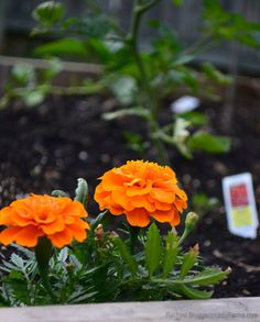 Some plants, like marigolds, can be planted alongside your garden vegetables to attract beneficial insects or deter insect pests. Photo by Rachael Brugger (HobbyFarms.com)