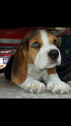 Beagle puppies are the cutest