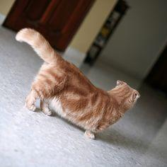 munchkin cat ^-^