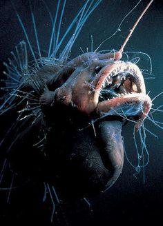 *ANGLER FISH ~ deep sea angler - Once you get really deep, the ocean has such incredible wonders. The Angler fish is the boss of the deep sea. Deep Sea Creatures, Weird Creatures, Deep Sea Animals, Underwater Creatures, Underwater Life, Fauna Marina, Angler Fish, Deep Sea Fishing, Tier Fotos