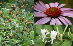 Herbs For The Immune System:  Immunostimulants, Immunomodulators, Immune Tonics, & Anti-microbials