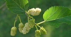 Υγεία - Μπορεί πολλοί να το γνώριζαν σαν φρούτο ή απλά να το είχαν ακουστά, ωστόσο ερευνητές εξέτασαν πολύ προσεκτικά τις επιπτώσεις που μπορεί να έχει το λευκό μο