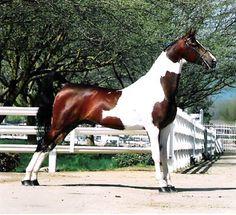 American Saddlebred | American Saddlebred Stallions