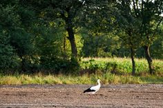 march meadows a stork taps off his travel dust    Märzwiesen ein Storch klopft sich  den Reisestaub ab      veredit©isabella.kramer2017