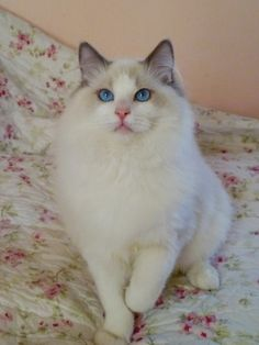ragdoll bluepoint bicolor 8 weeks old | Blue Point Bicolor (True Bicolor)