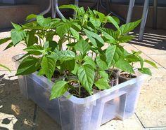 Ich möchte mal wieder ein Update zum Chili und Paradeiser Grow bringen. Die… Chili, Plants, Pictures, Lemon Grass, Glass House, Photos, Chile, Plant, Chilis