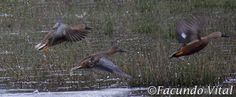 Aves de Bariloche: Pato Cuchara