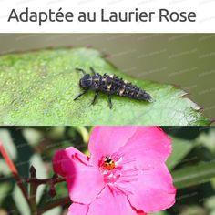 Attention aux températures bull; ALERTE CANICULE en cas de forte températures, les pertes de larves de coccinelles peuvent être importantes. Celles-ci...