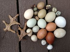 A turkey egg collection, come see the huge variety of eggs, part of Berkshire Collects! #BerkshireCollects