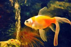 gold...fish..lol...