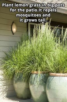 Plant lemon grass in big pots for the patio. It repels mosquitoes and it grows tall. Plant lemon grass in big pots for the patio. It repels mosquitoes and it grows tall. Diy Garden, Dream Garden, Lawn And Garden, Garden Plants, Backyard Plants, Backyard Patio, Outdoor Plants, Plants On Deck, Plants In Pots
