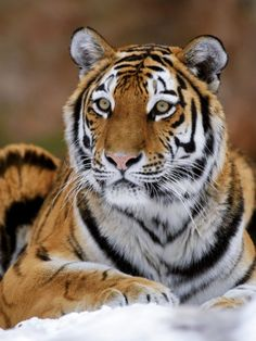 Siberian Tiger=Another regal species facing extinction from poaching. They are the largest naturally occuring big cat. - Share cute