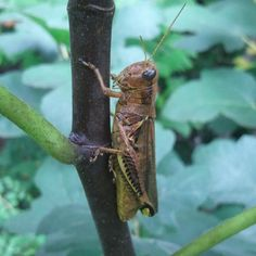 He was on the fig plant. Probably waiting on the figs to ripen.  #GhostWomanStudios #insect #grasshopper #fig #plant #latesummer #yarden