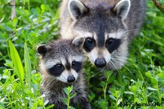 Cute raccoon   #raccoon   #babyraccoon   #cuteraccoon   #sweetraccoon   #littleraccoon  #cutebabyraccoon #babyanimals   #cuteanimals   #sweetanimals  #littleanimals
