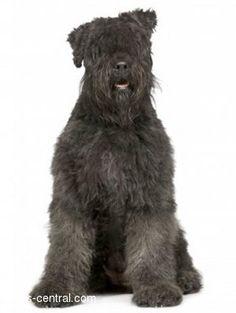 Google Image Result for http://dogs-central.com/dog-breeds/images/bouvier-des-flandres/bouvier-des-flandres_image1.jpg