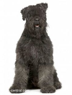 Google Image Result for http://dogs-central.com/dog-breeds/images/bouvier-des-flandres/bouvier-des-flandres_image1.jpg